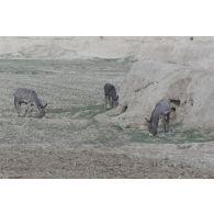 Des ânes broutent au pied des remparts de la citadelle de Quala i Jangi près de Mazar e Charif.
