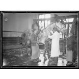 Garches, Seine-et-Oise, Institut Pasteur, fabrication des sérums. Vaccination d'un cheval. [légende d'origine]