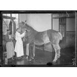 Garches, Seine-et-Oise, Institut Pasteur, fabrication des sérums. Saignée du cheval, 1er temps. [légende d'origine]