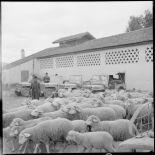 Moutons rentrant des pâturages.